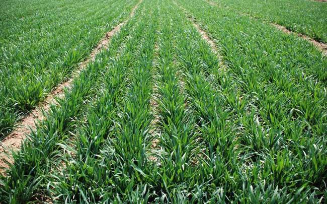 春小麦复种菜花技术