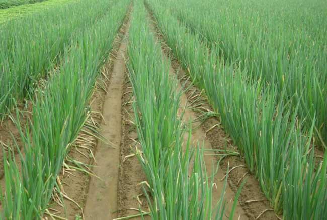 春小麦复栽大葱的种植技术