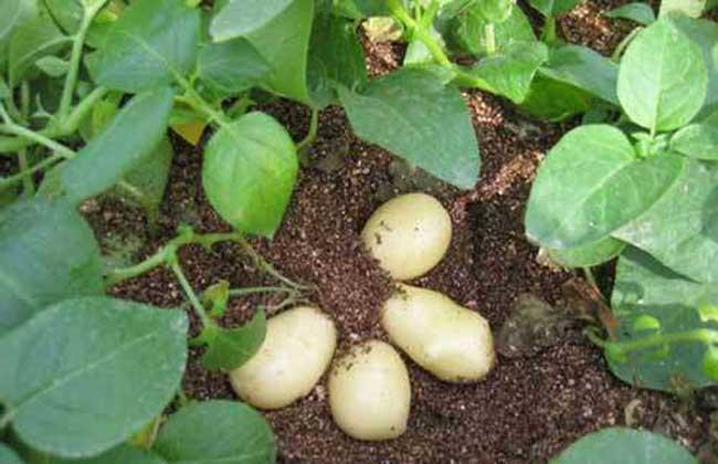 马铃薯栽培种植技术