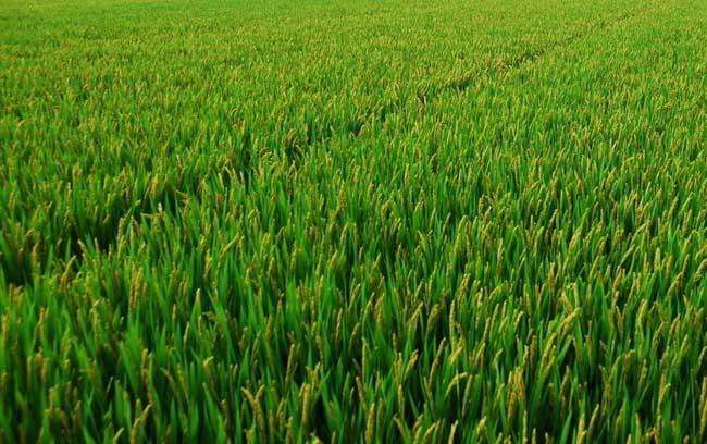 水稻生长特性