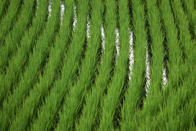 水稻苗期管理技术
