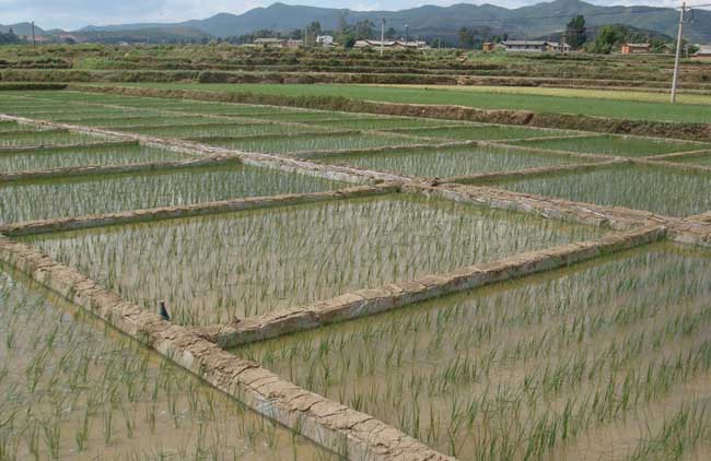水稻需肥规律与施肥技术