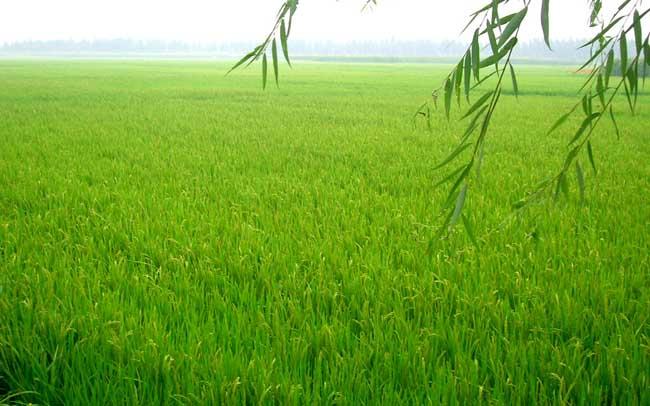 水稻高产管理