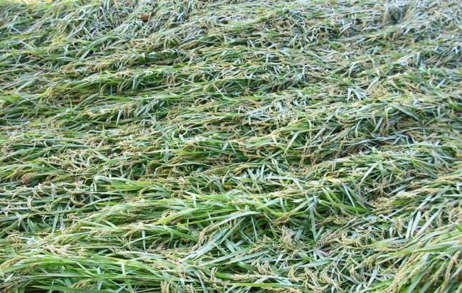 水稻倒伏的防治措施
