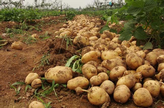 马铃薯晚疫病