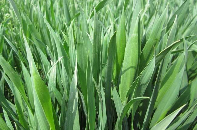 小麦根腐病