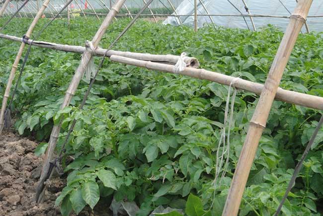 马铃薯种植施肥技术