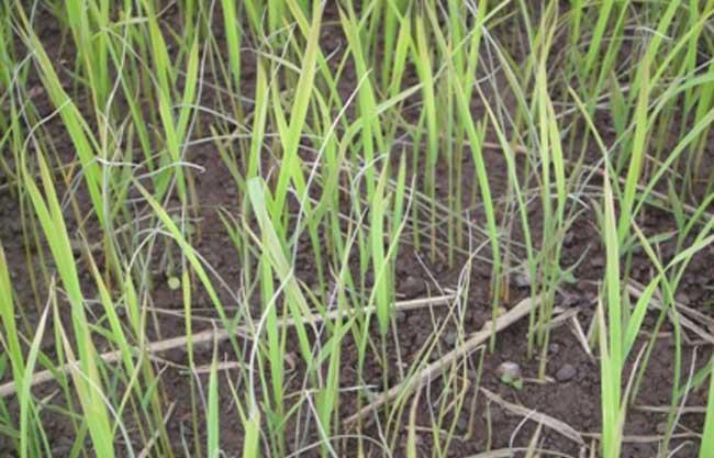 水稻立枯病