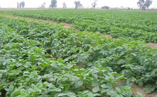 黑土豆种植技术