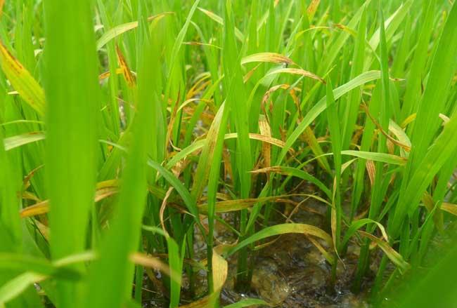 水稻育苗技术