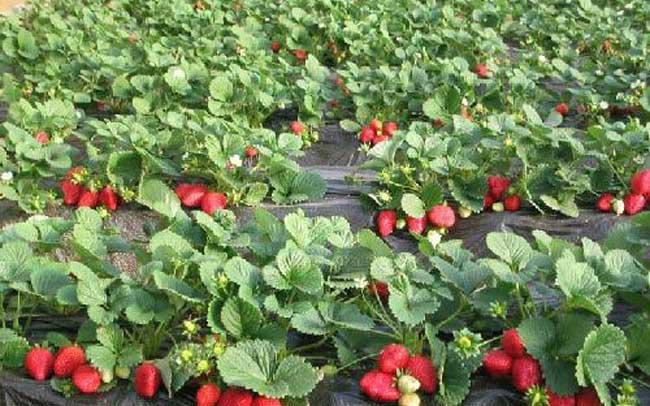 草莓花果期的管理