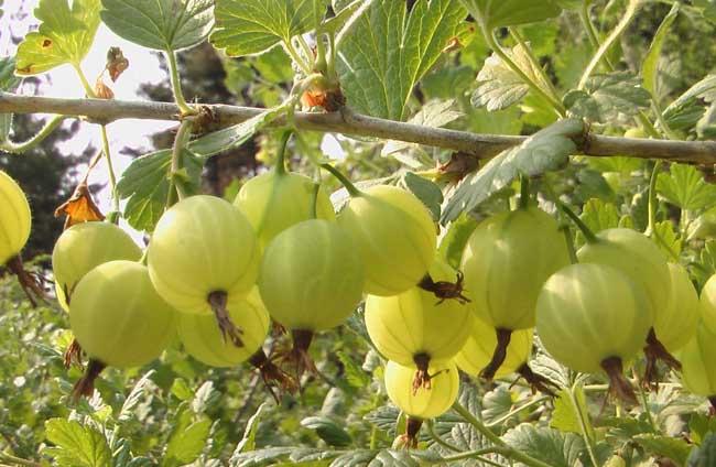 灯笼果的栽培技术