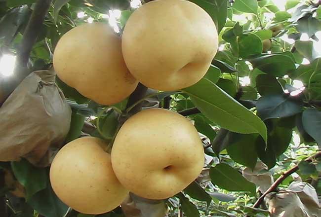 梨果套袋操作技术