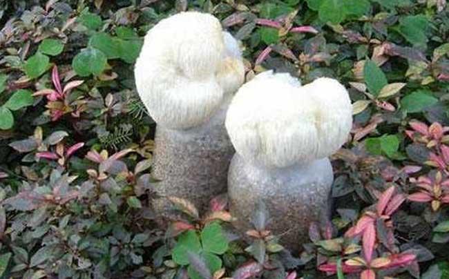 猴头菇种植