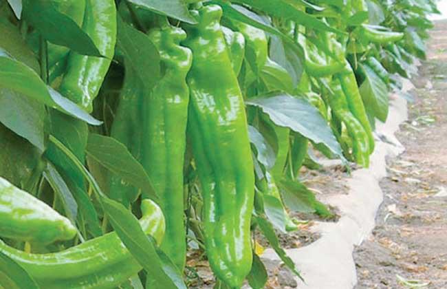 辣椒种子怎么种