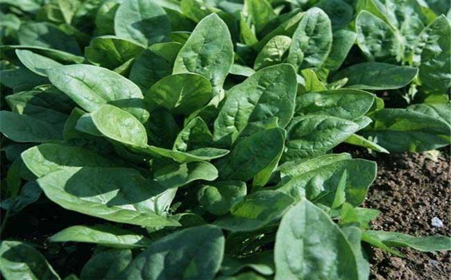 菠菜阳台种植技术