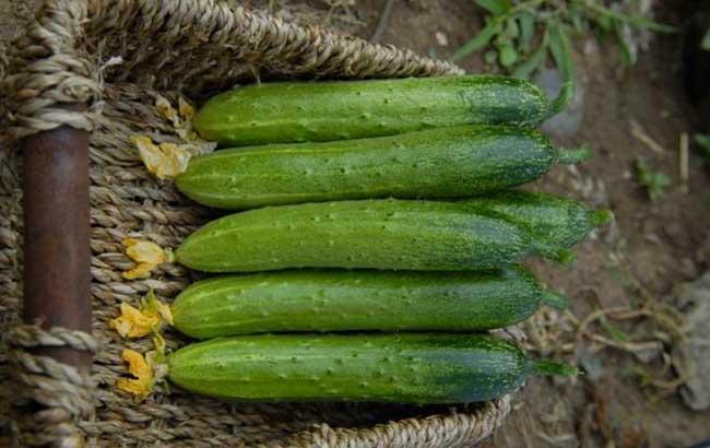 黄瓜种子怎么种