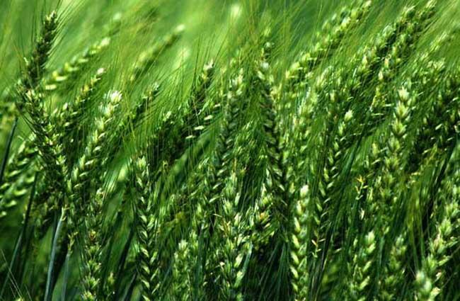 小麦返青后追肥