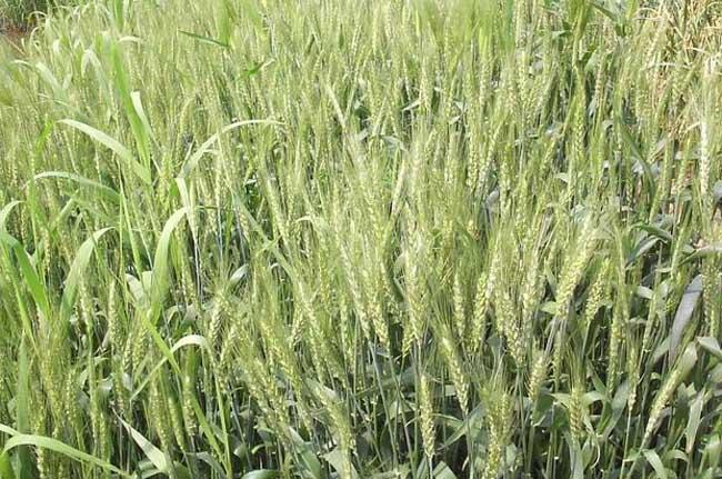 小麦种植中硬草的锄草技术