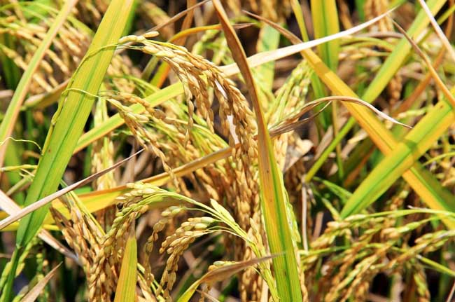 秋收后储藏稻米的方法和要点
