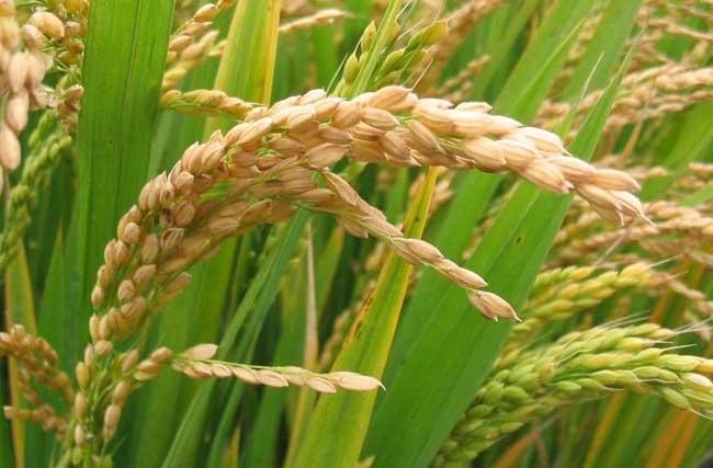 有机稻米栽培