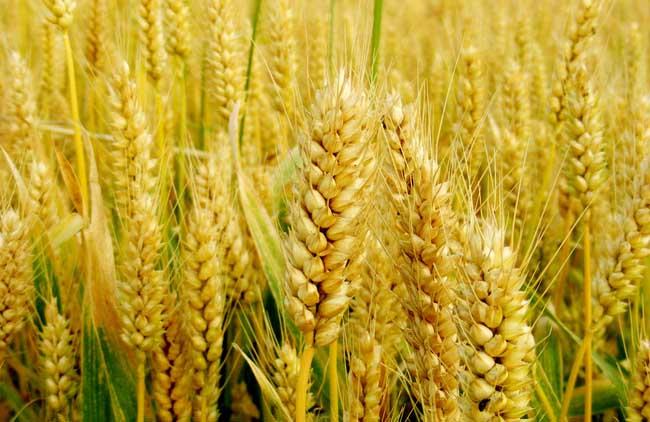 农产品小麦专题信息