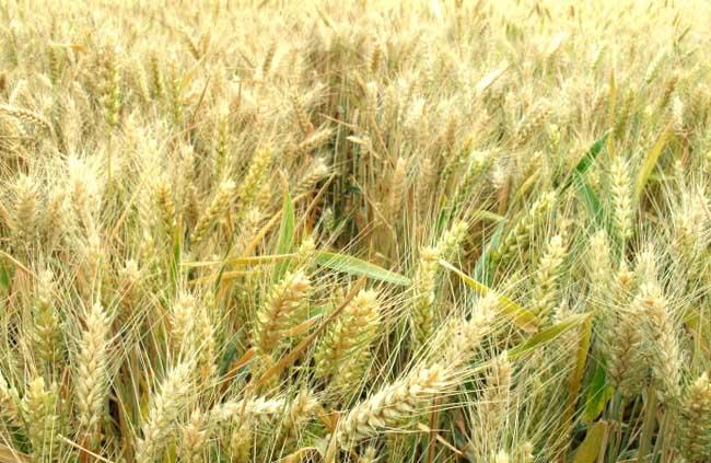 小麦种植技术