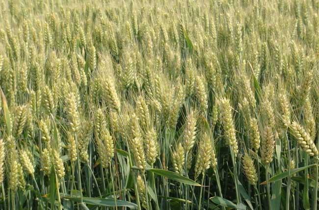 小麦播种期的病虫害技术