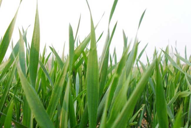 预防小麦早春防冻措施