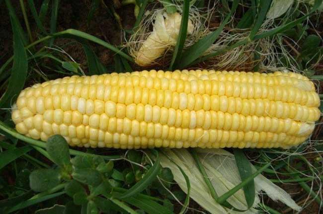 早春甜玉米种植技术要点
