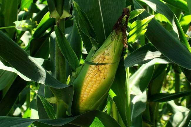 甜玉米种植技术