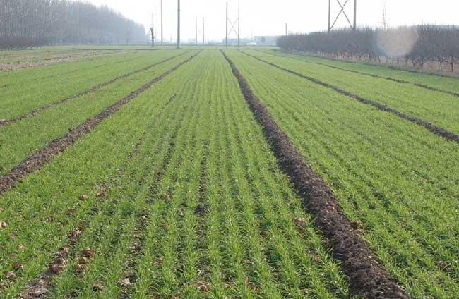 小麦的田间管理技术