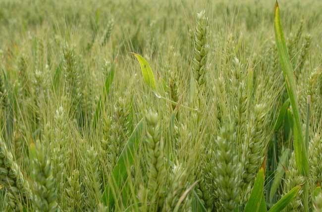 关于小麦栽培技术10个问题的回答