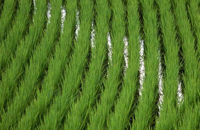 水稻较早移栽可获高产