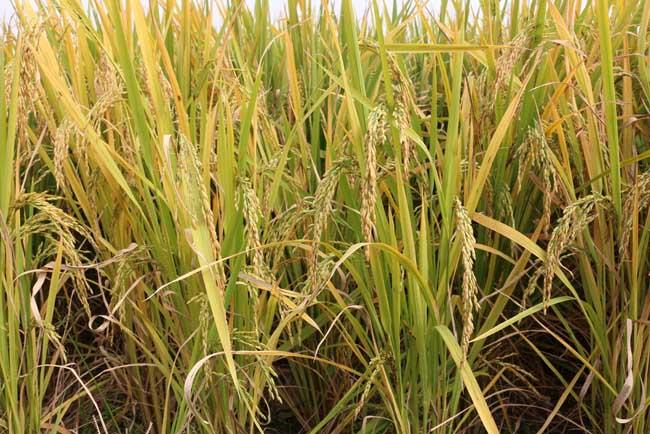 假劣杂交水稻种子的辨别方法