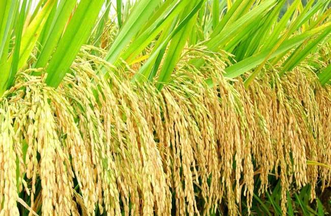 杂交水稻种子