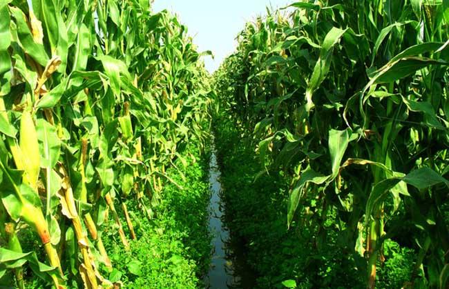 影响玉米收成