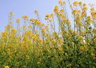 硼肥在油菜种植上的使用技术