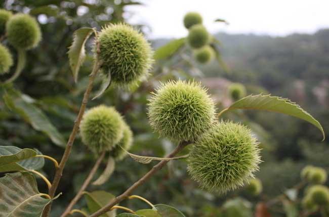 板栗树该怎么种植方法|板栗的种植技术