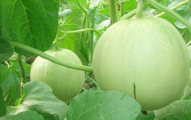香瓜栽培技术