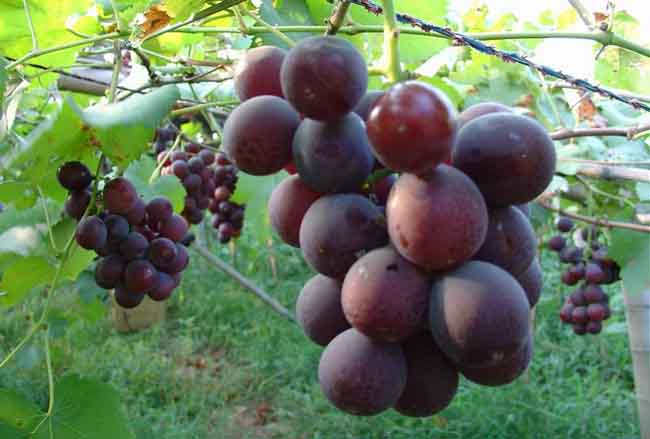 巨峰葡萄栽培技术