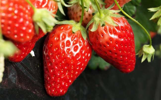盆栽草莓的种植方法