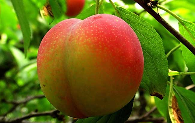 油桃栽培技术