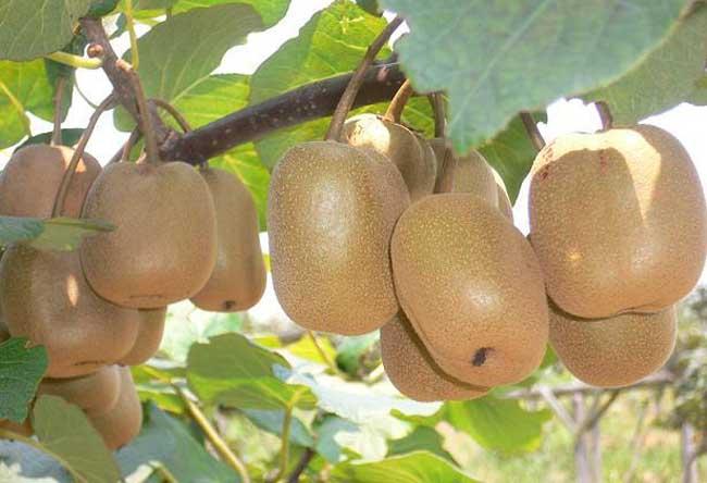 [猕猴桃的种植要求及种植技术要求]猕猴桃种植技术