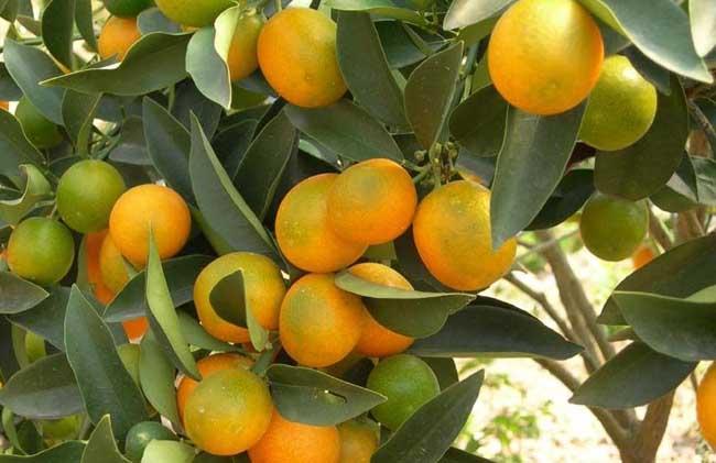 柑橘种植技术