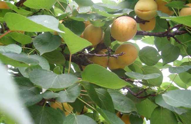 杏树修剪技术