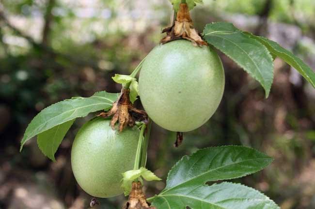 百香果种植技术与管理|百香果种植技术