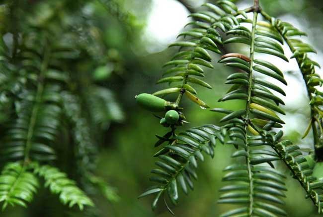 香榧树怎么种植|香榧种植技术