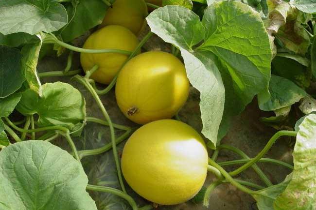 香瓜种植技术