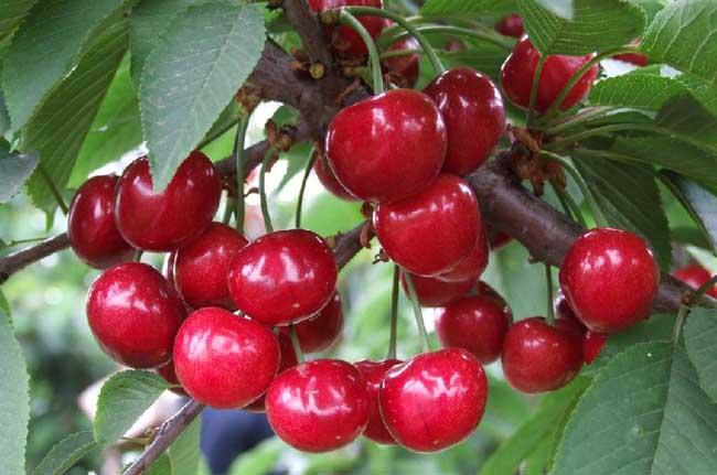 樱桃的种植技术